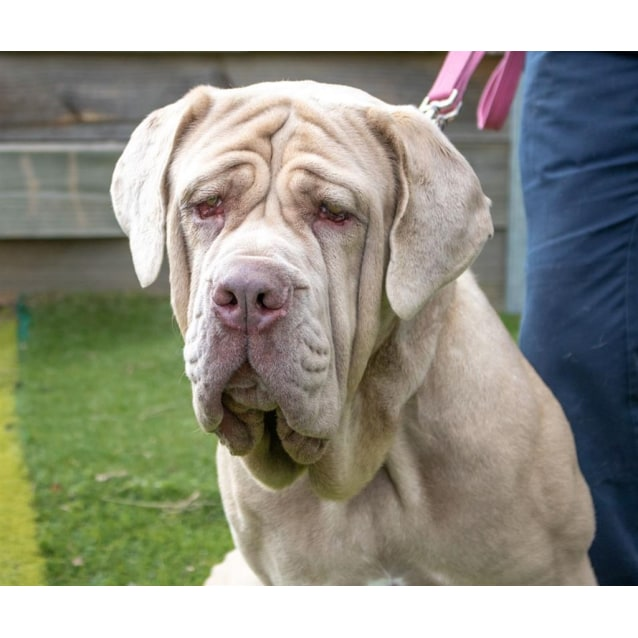 Jasmine - Large Female Neapolitan Mastiff Mix Dog in ACT