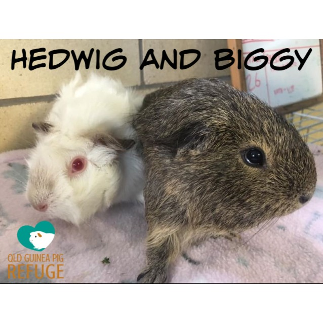 Photo of Hedwig And Biggy (Desexed Male)