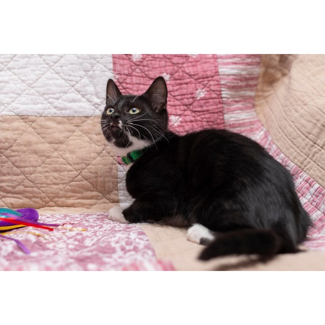 Photo of Walnut **2nd Chance Cat Rescue**