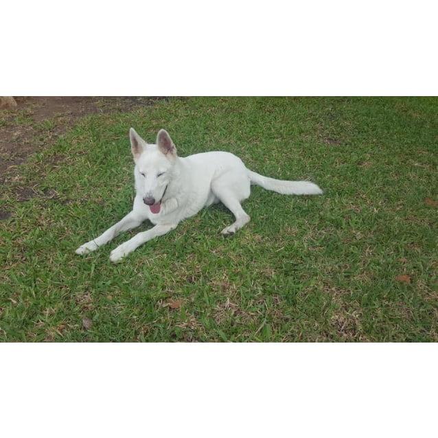 Haunted Places In Rockhampton Qld: Large Male German Shepherd Dog In QLD