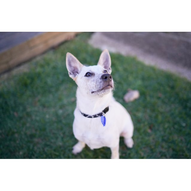 Photo of Cali ~ 8 Month Old Cattle Dog X Fox Terrier