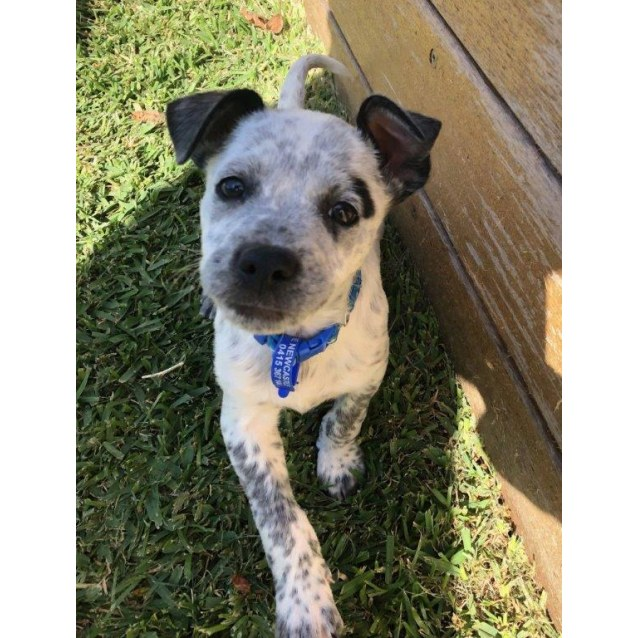 Photo of Comet ~ Happy Cattle Dog X Puppy
