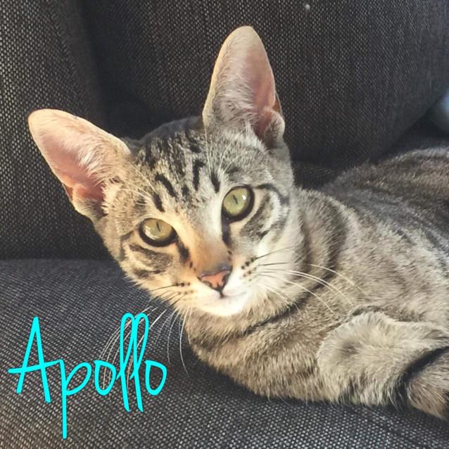 Photo of Apollo   Meet Me At Cat Lounge/Neko Hq, Preston
