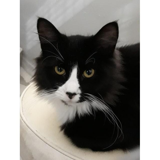 Felix - Male Domestic Medium Hair Cat in VIC - PetRescue