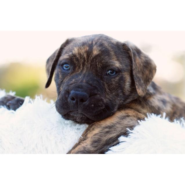 Photo of Puppy Arnie Dl2124