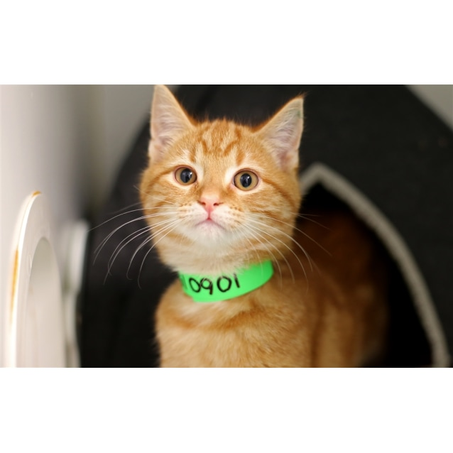 Super Homer Male Domestic Short Hair Mix Cat In Vic Petrescue Download Free Architecture Designs Itiscsunscenecom