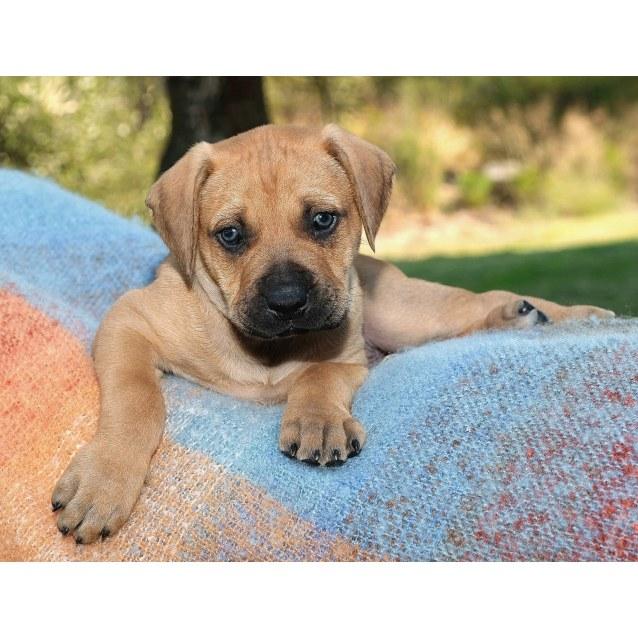 Photo of Puppy Luke Dl2129