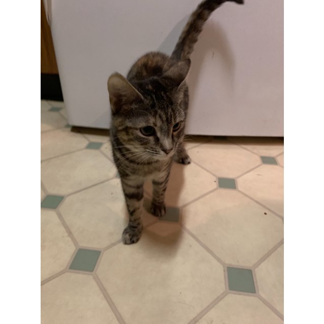 Photo of Rescue Kitten   Milly