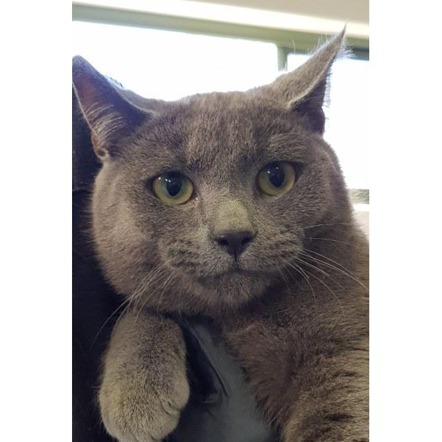Loki - Male Domestic Short Hair Cat in VIC - PetRescue