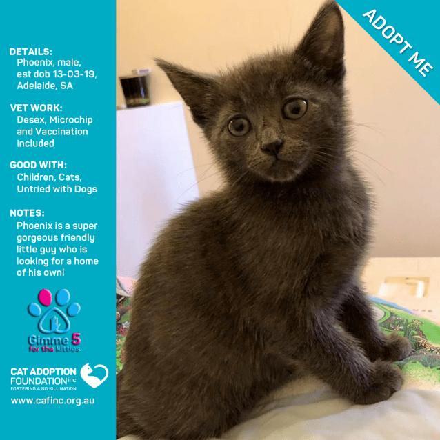 Cats For Adoption Phoenix - All About Foto Cute Cat Mretmlle Com