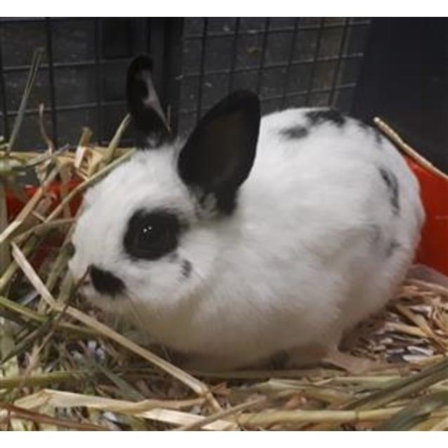 Leonie 910458 - Female Netherland Dwarf Rabbit in VIC