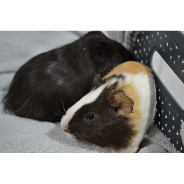 Photo of Young Guinea Pigs