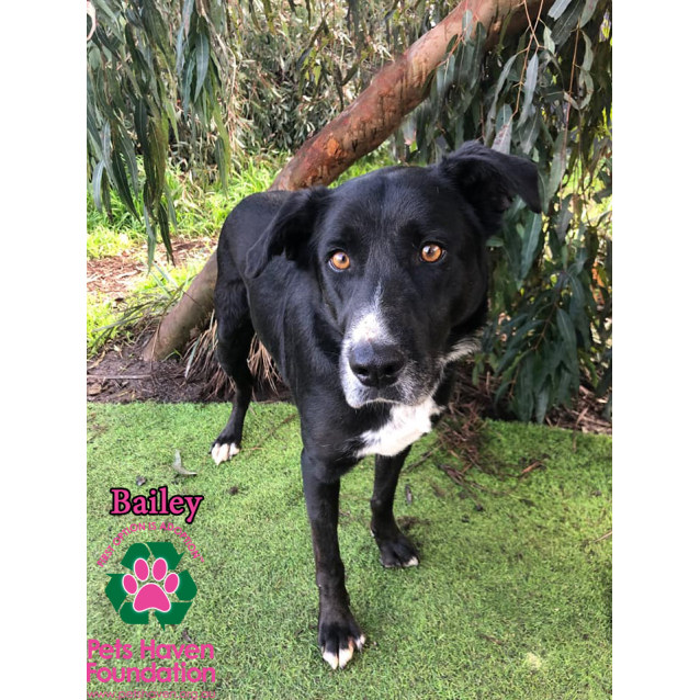Bailey - Medium Male Border Collie x Labrador Mix Dog in VIC