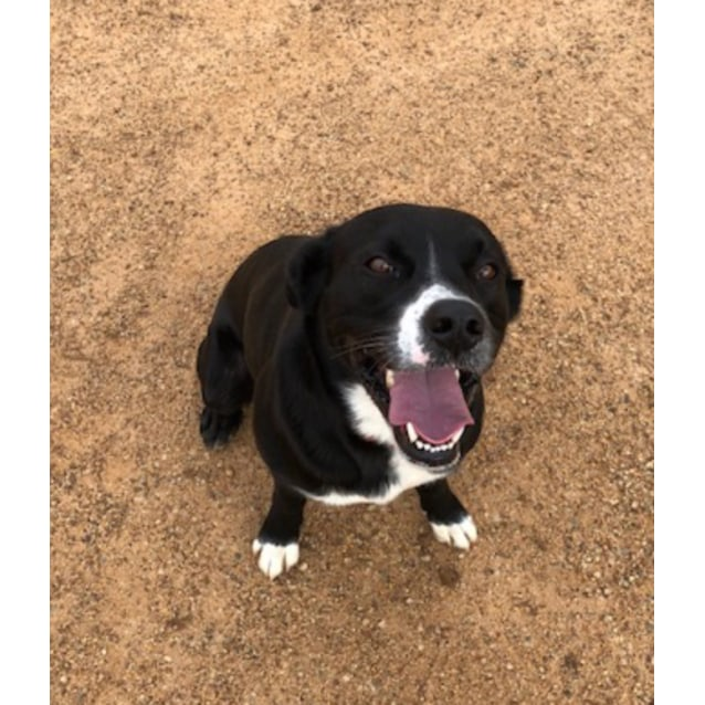 Scooter - Medium Male Mixed Breed Dog in WA - PetRescue