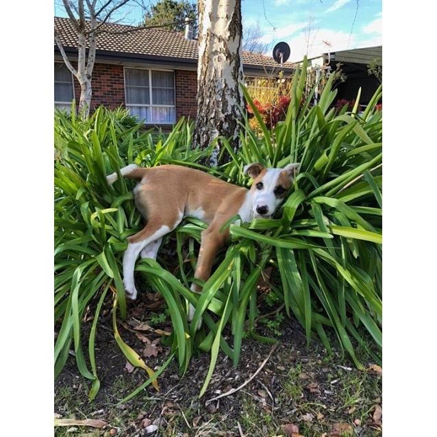 Argos - Medium Male Kelpie Mix Dog in SA - PetRescue