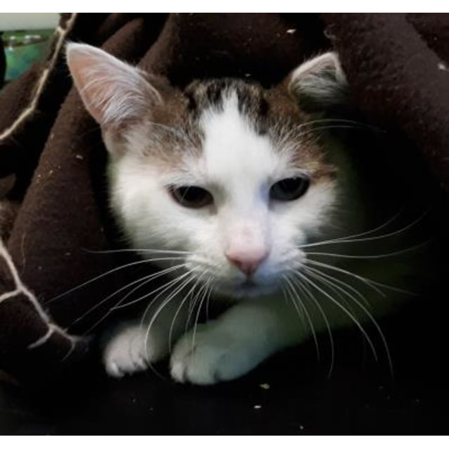 Mr Buttons 918642 Male Domestic Short Hair Cat In Vic Petrescue