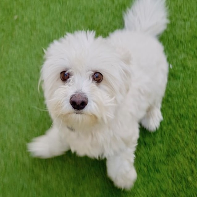 Stella Small Female Maltese X Poodle Dog In Wa Petrescue