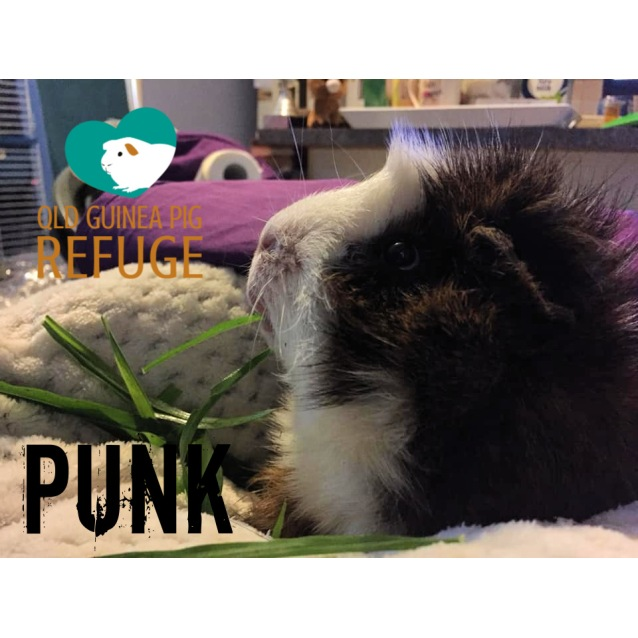 Photo of Punk (Desexed Male)