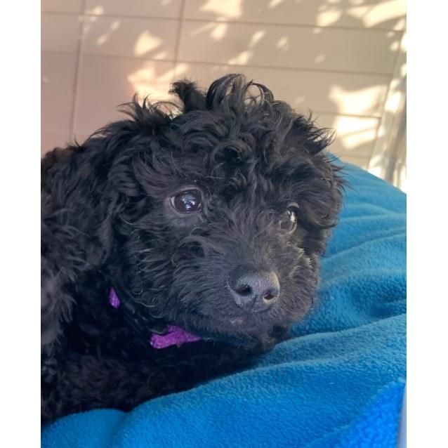 Millie Medium Female Poodle X Cocker Spaniel Dog In Nsw