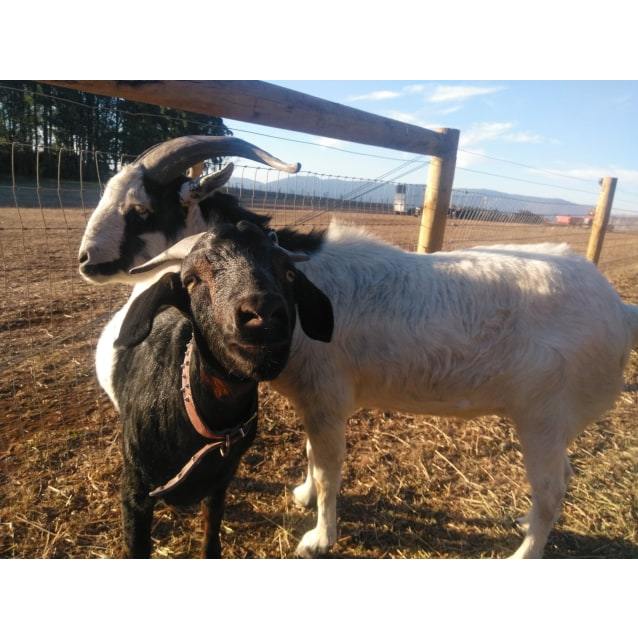 Photo of Goats For Adoption!