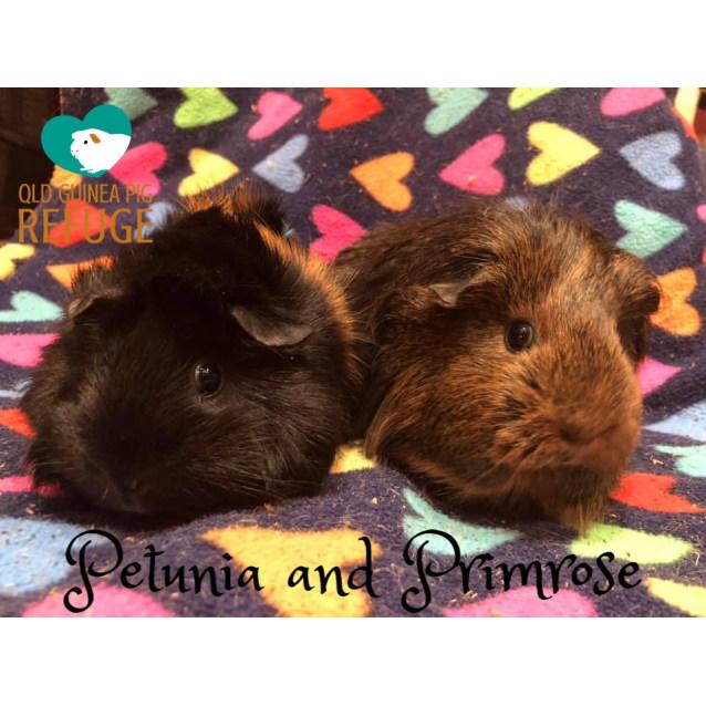 Photo of Petunia And Primrose