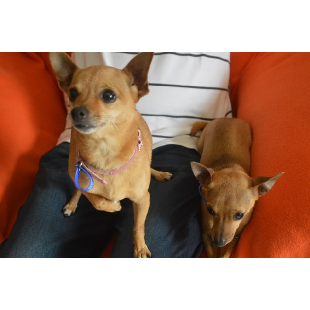 Photo of Lexi And Levi ~ Bonded Pair Of Chihuahuas