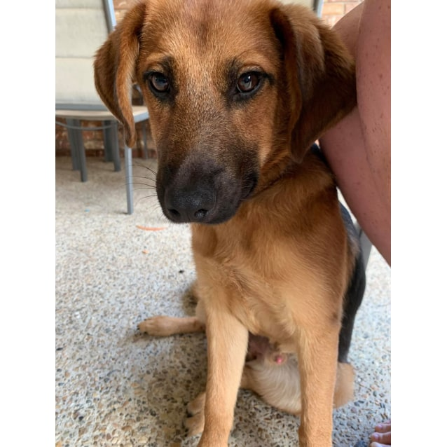 Yota Small Male German Shepherd X Beagle Mix Dog In Qld Petrescue