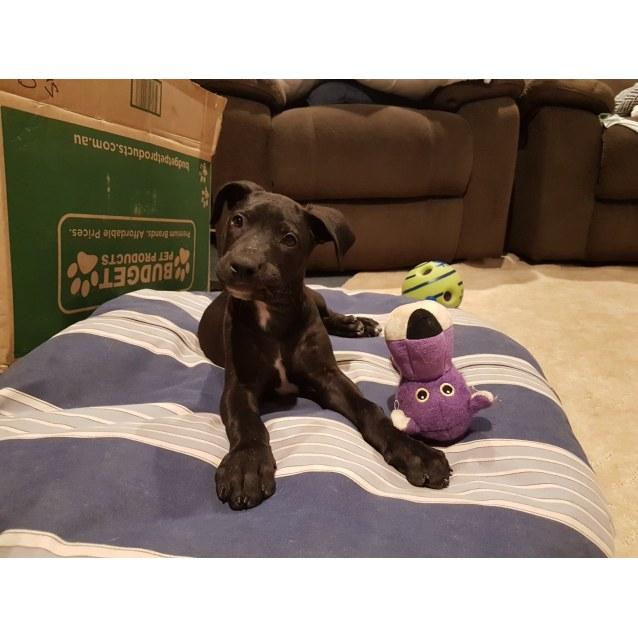 Photo of Tippy ~ Mastiff X Puppy (On Trial 8/11/19)