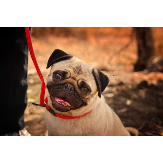 Tina Small Female Pug Dog In Nsw Petrescue