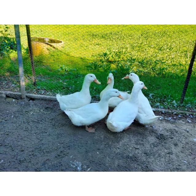 Photo of Ducks For Adoption