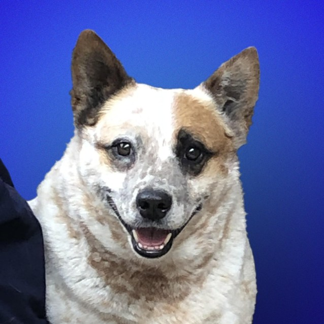 Photo of Honey ~ 6 Yr Red Heeler
