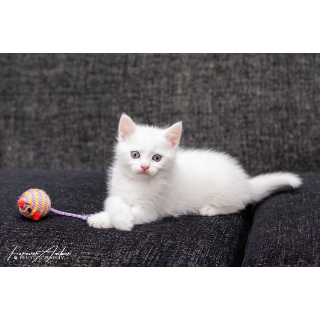 Photo of Kenickie **2nd Chance Cat Rescue**