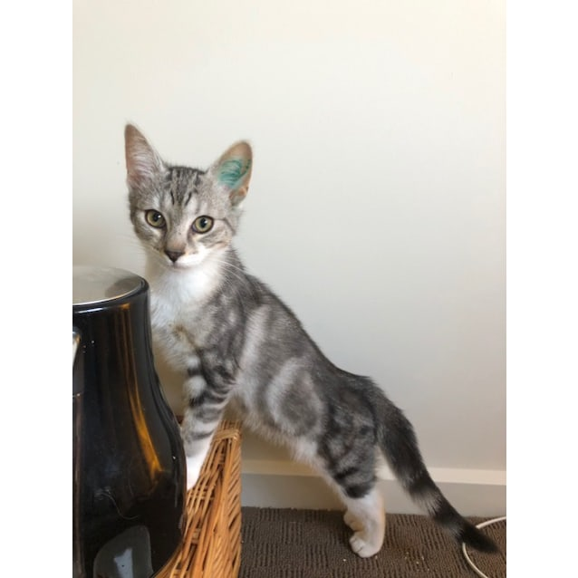 Photo of Dara **2nd Chance Cat Rescue**
