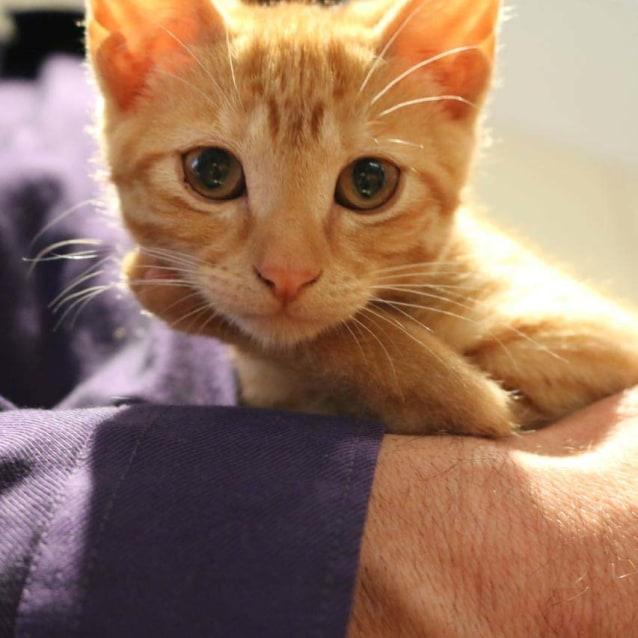 Photo of Chino ~ Lovely Male Ginger Kitten
