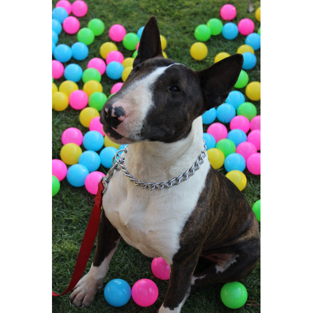 Photo of Beau   Nsw Bull Terrier Rescue