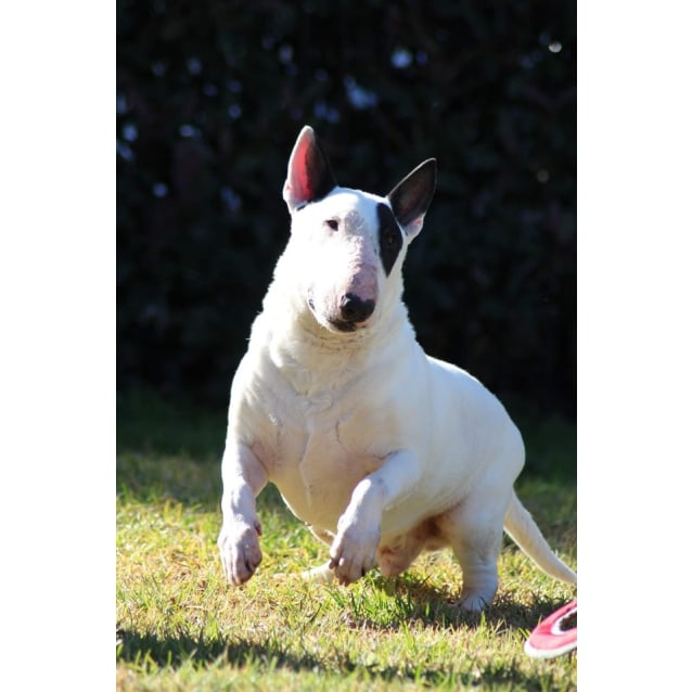 Photo of Buster   Nsw Bull Terrier Rescue