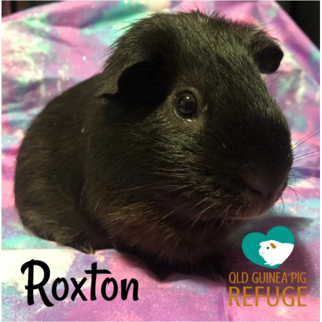 Photo of Roxton (Desexed Male)