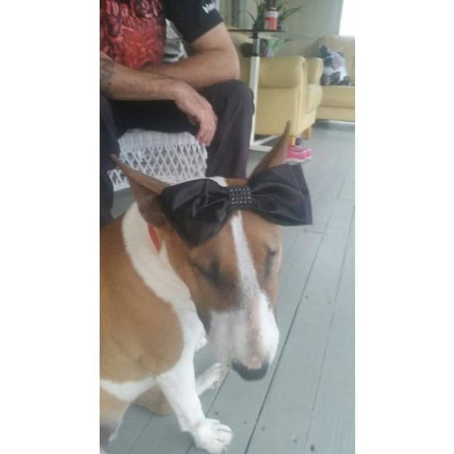 Photo of Lily   Nsw Bull Terrier Rescue