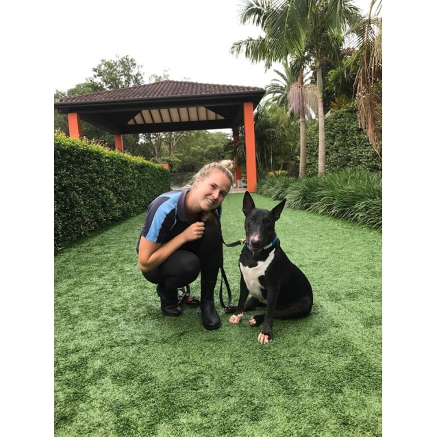 Photo of Ollie    Nsw Bull Terrier Rescue