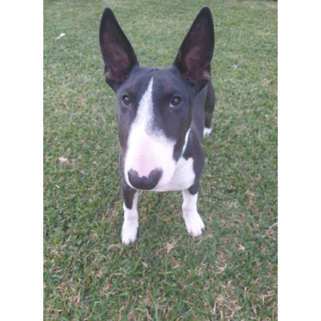 Photo of Wilson   Nsw Bull Terrier Rescue