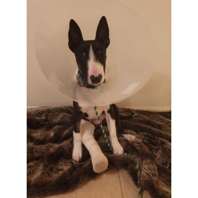 Photo of Wilson   Nsw Bull Terrier Rescue