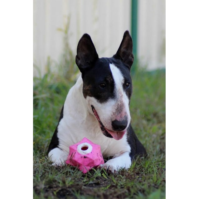 Photo of Zoe    Nsw Bull Terrier Rescue