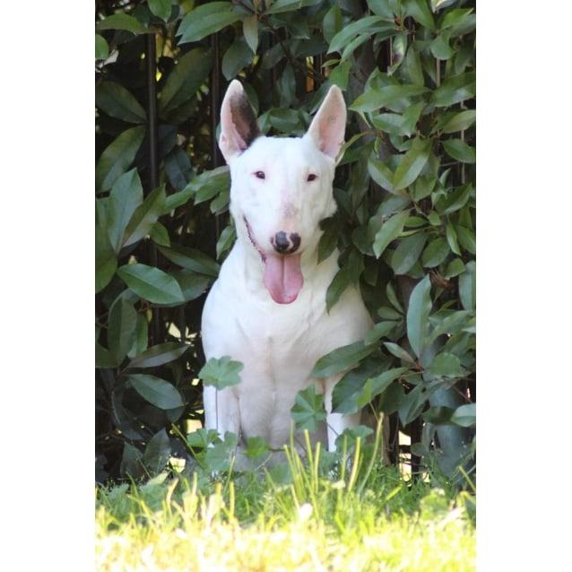 Photo of Tori   Nsw Bull Terrier Rescue