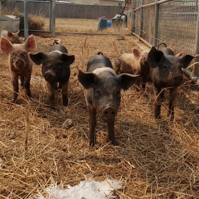 Photo of Petal Pig