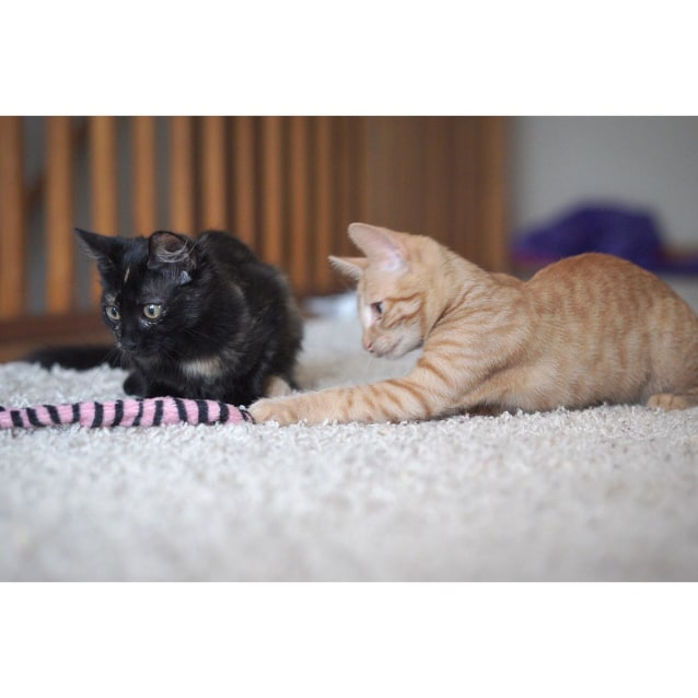 Photo of Chino And Latte ~ Gorgeous Kittens