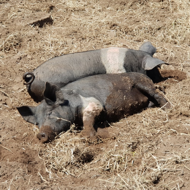 Photo of Pretzel Pig