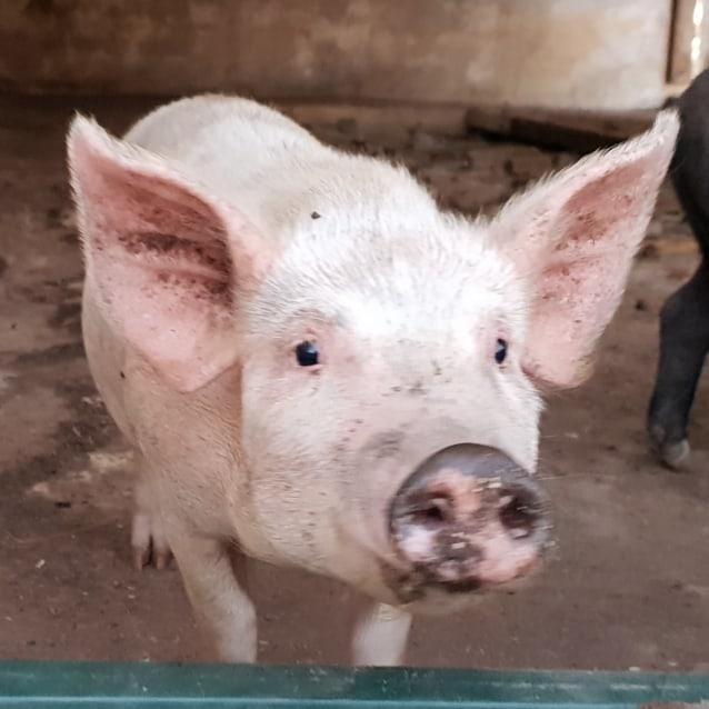 Photo of Pumpkin Pig