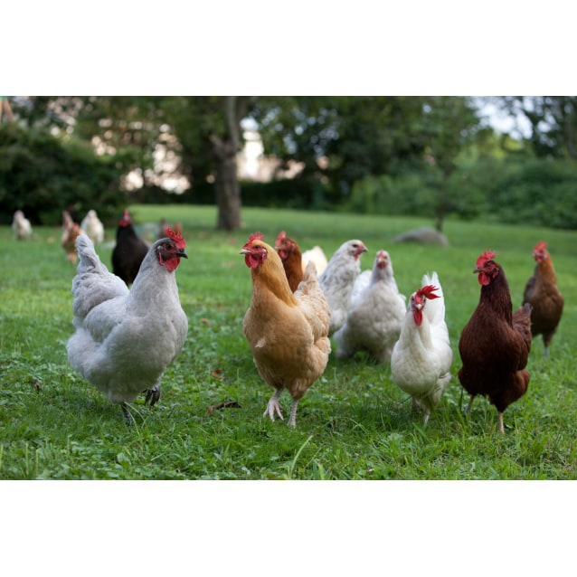 Photo of Chooks For Adoption