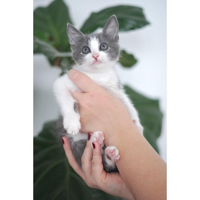 Photo of Murphy ~ 8 Week Old Male Kitten