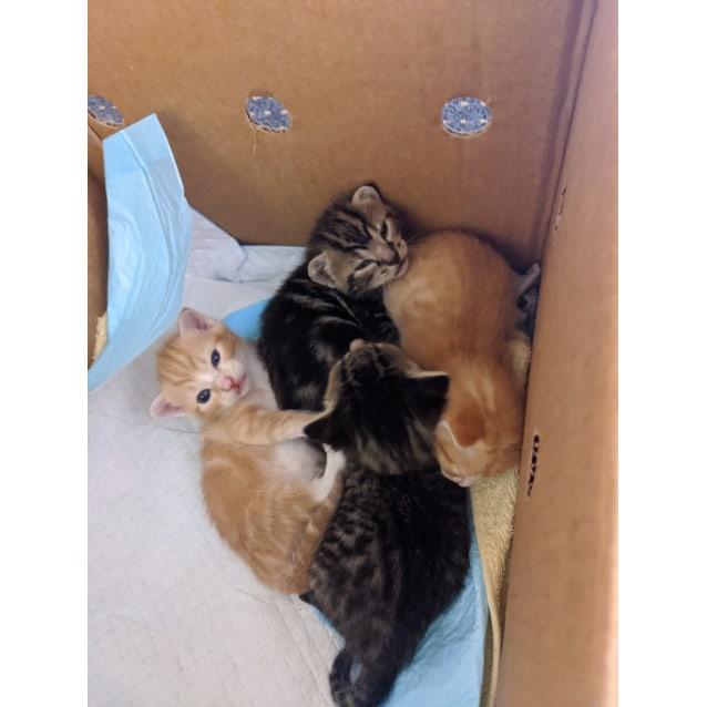 Photo of Ginger 1, Ginger 2, Tabby 1, Tabby 2.